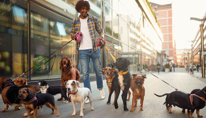A young man walking a group of dogs